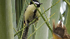 Thumbnail Great Tit 01