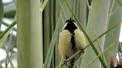 Great Tit 02