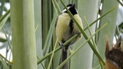 Thumbnail Great Tit 03