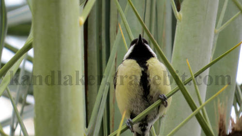 Product picture Great Tit 02